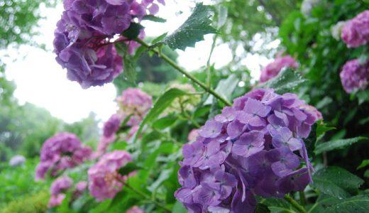 雨の鎌倉、あじさいの名所を巡る